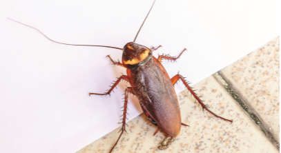 Cockroach3.PNG